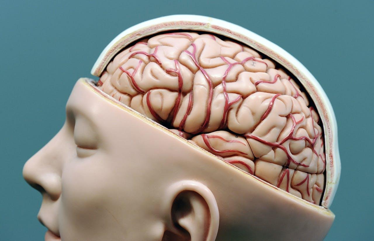Model van menselijke hersenen.