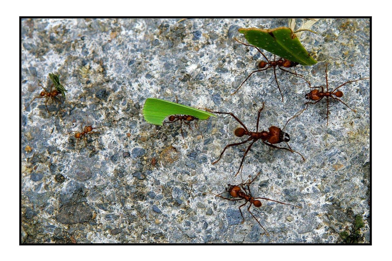 POPAYAN-Mieren lopen over een steen.ANP-PHOTO ROBIN UTRECHT