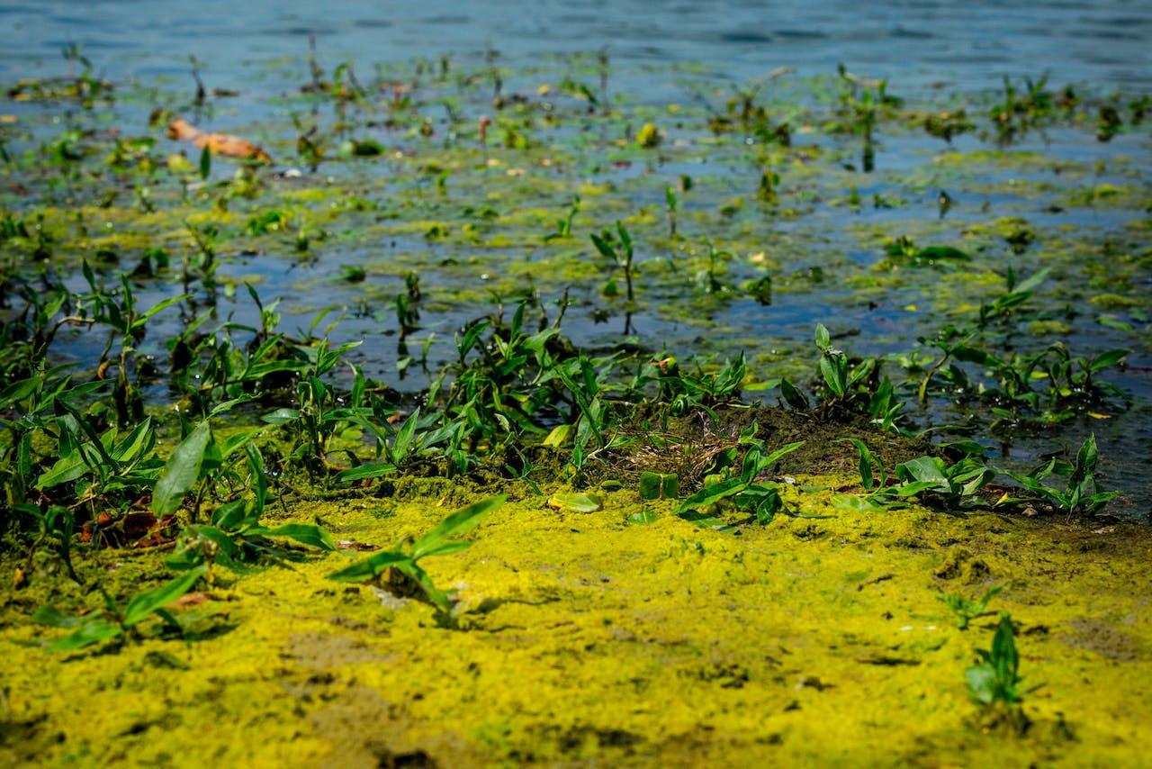 Algen in waterplas De Meeris in Waalre. Bij langdurig warm weer stijgt het aantal algen in meren en plassen.