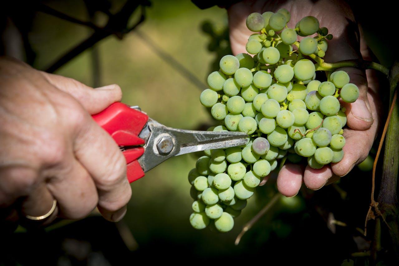Wijnranken op een Nederlandse wijnboerderij.