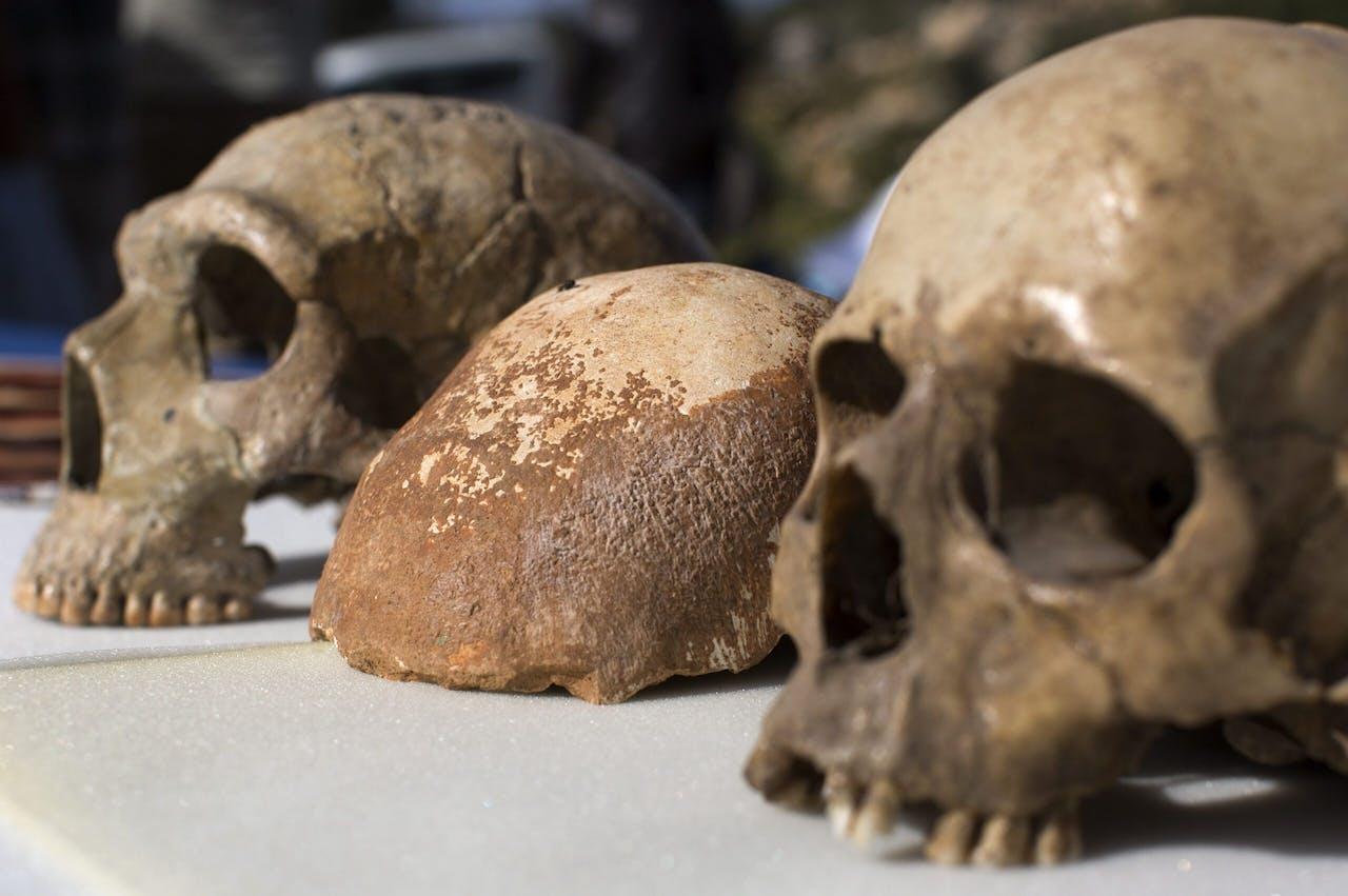Een deel van een schedel van een Homo Sapiens tussen een schedel van een Neanderthaler (links) en een moderne mens (rechts).