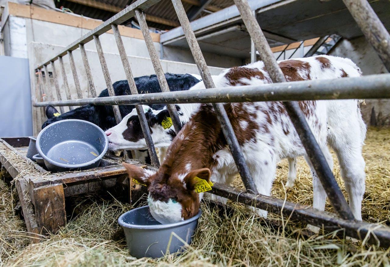 Kalfjes staan op stal bij een melkveehouder in Reeuwijk.