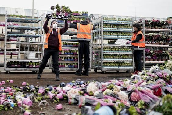 Bloemen worden vernietigd bij FloraHolland Naaldwijk in Honselersdijk