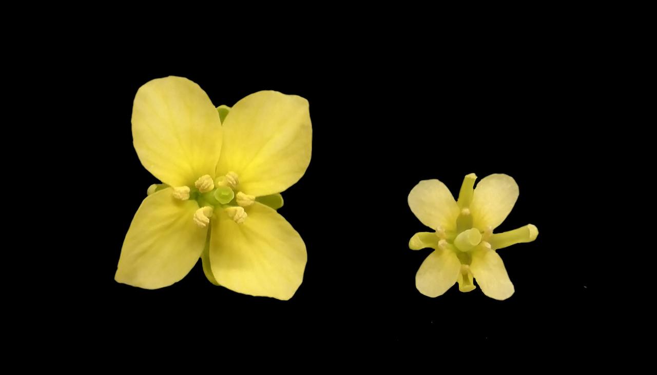 Rechts een bloem met zwaveltekort.