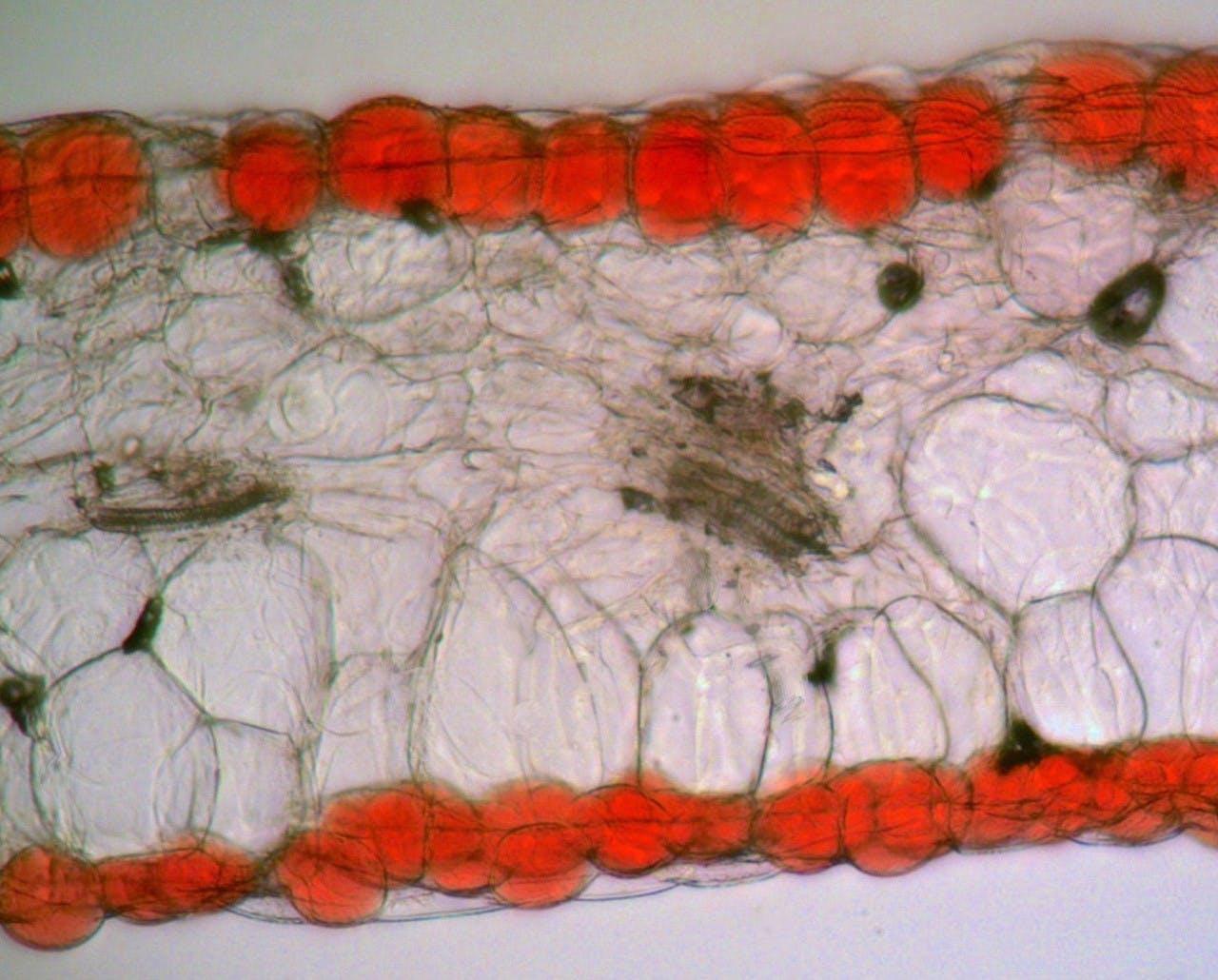 Dwarsdoorsnede van de bloemen van pronkboon (Phaseolus coccineus)