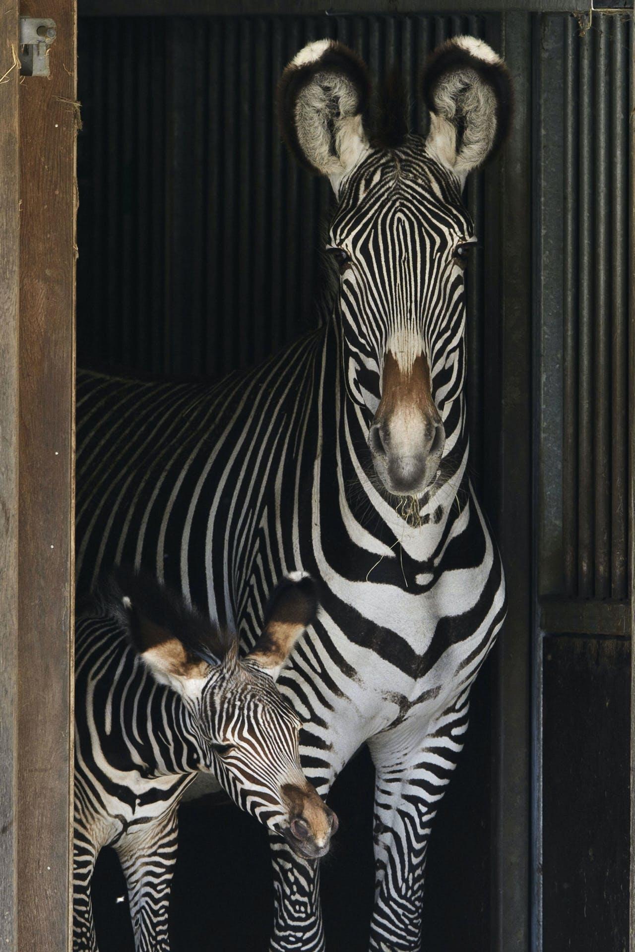 AMSTERDAM - Een pasgeboren zebrakalf zet haar eerste stappen buiten op de Savanne in ARTIS. De Grevy-zebra is van alle zebrasoorten de meest bedreigde soort. ANP OLAF KRAAK