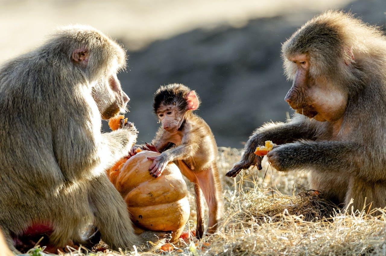 Bavianen worden in hun verblijf in Safaripark Beekse Bergen