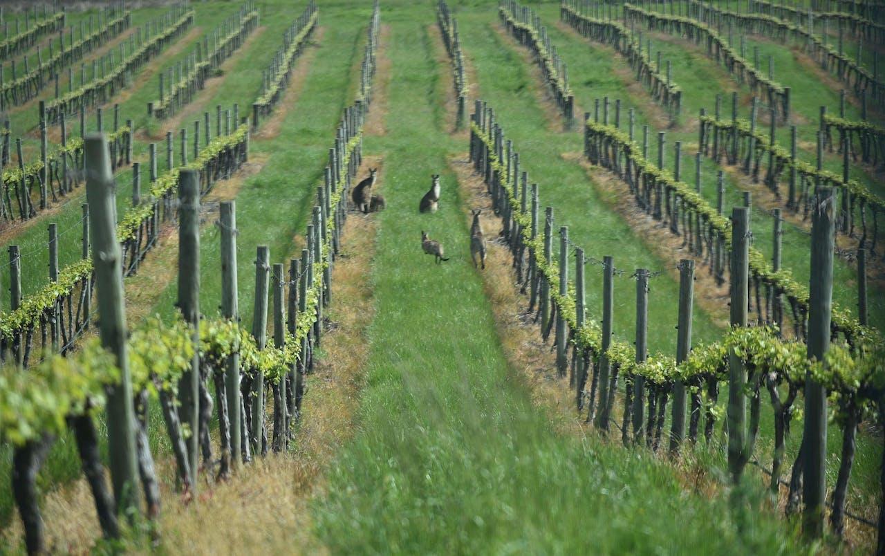 Kangaroos hoppen door een wijngaard in de Australische streek Orange in Nieuw-Zuid-Wales.
