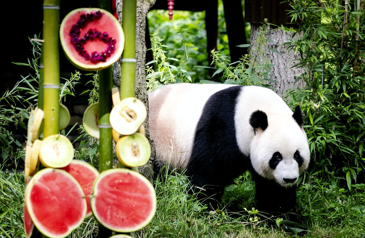 Reuzenpanda Xing Ya tijdens de viering van zijn 6e verjaardag in Ouwehands Dierenpark.