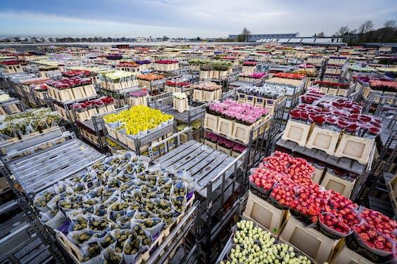Miljoenen bloemen moesten in maart vernietigd worden.