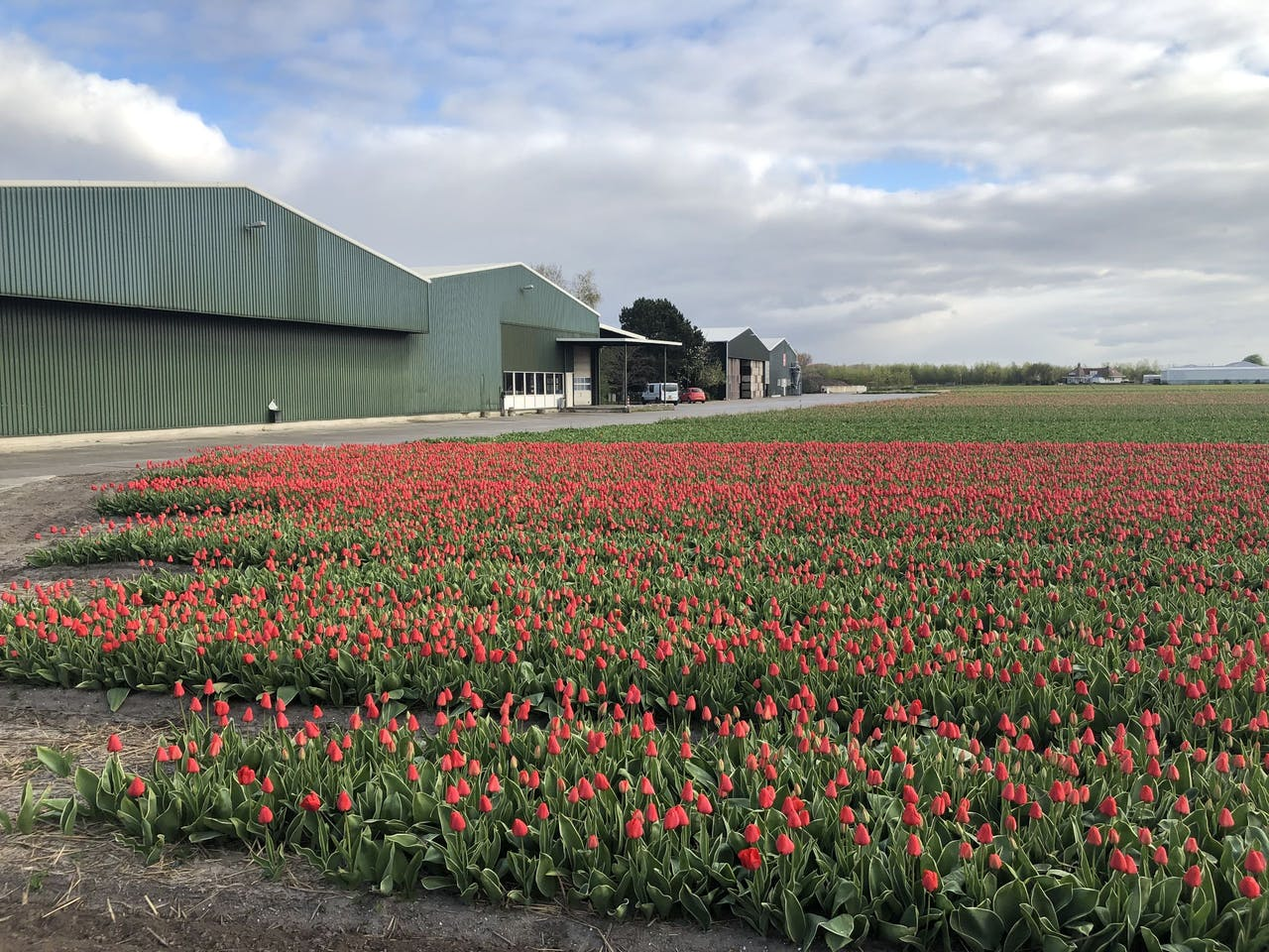 Het tulpenveld van Simon Pennings uit Noordwijkerhout