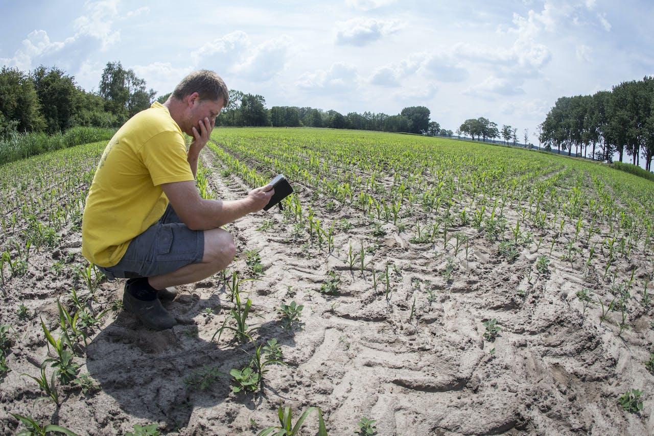 Akkerbouwer bekijkt de jonge maisplantjes in de droge grond op zijn maisveld.