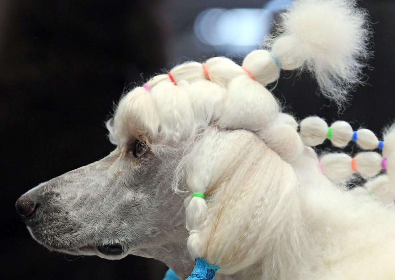 Een poedel tijdens de World Dog Show vorig jaar in het Duitse Leipzig.