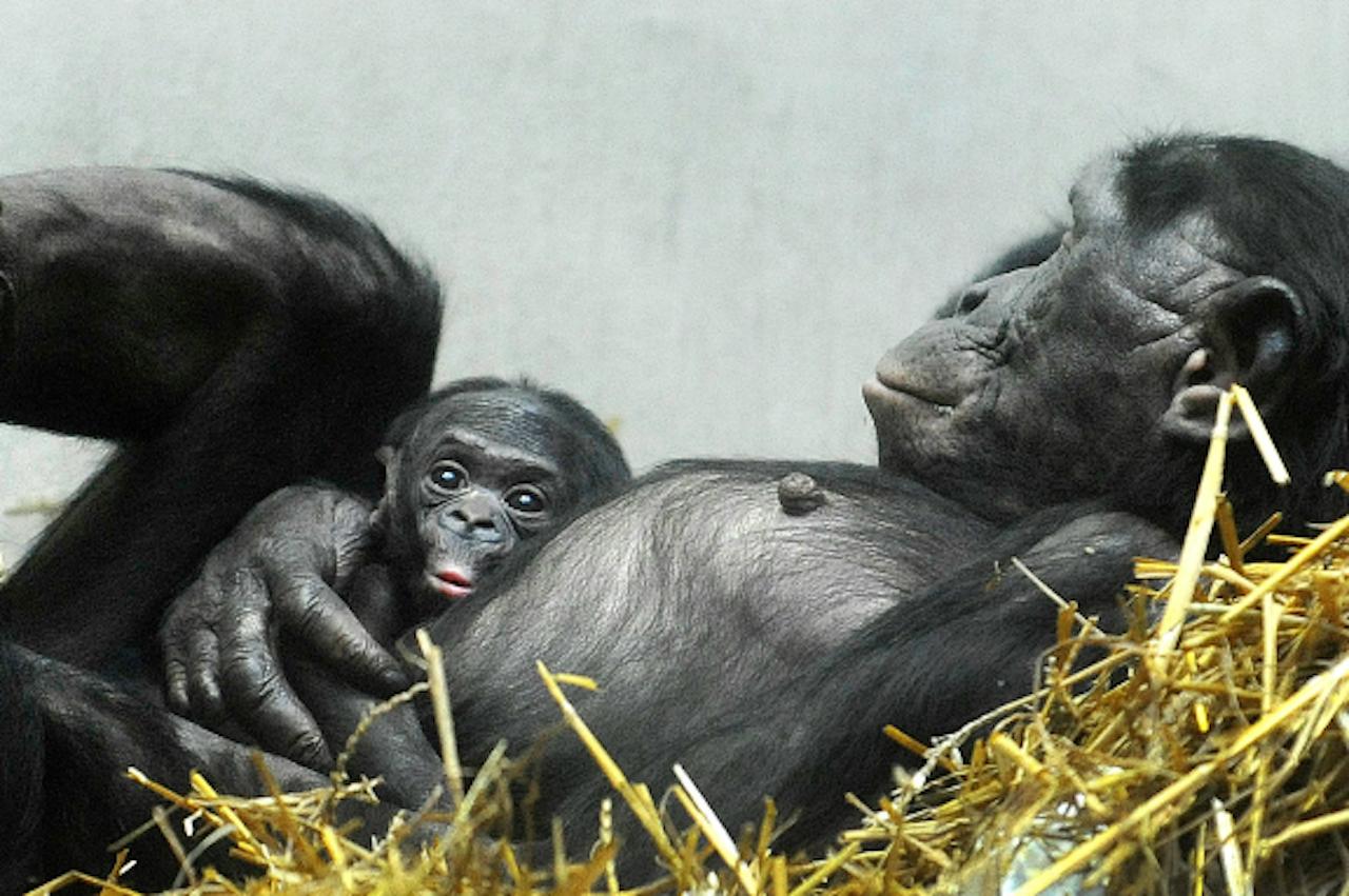 Een nieuwgeboren bonobo op de buik van zijn moeder, in een Duitse dierentuin (Foto: ANP)