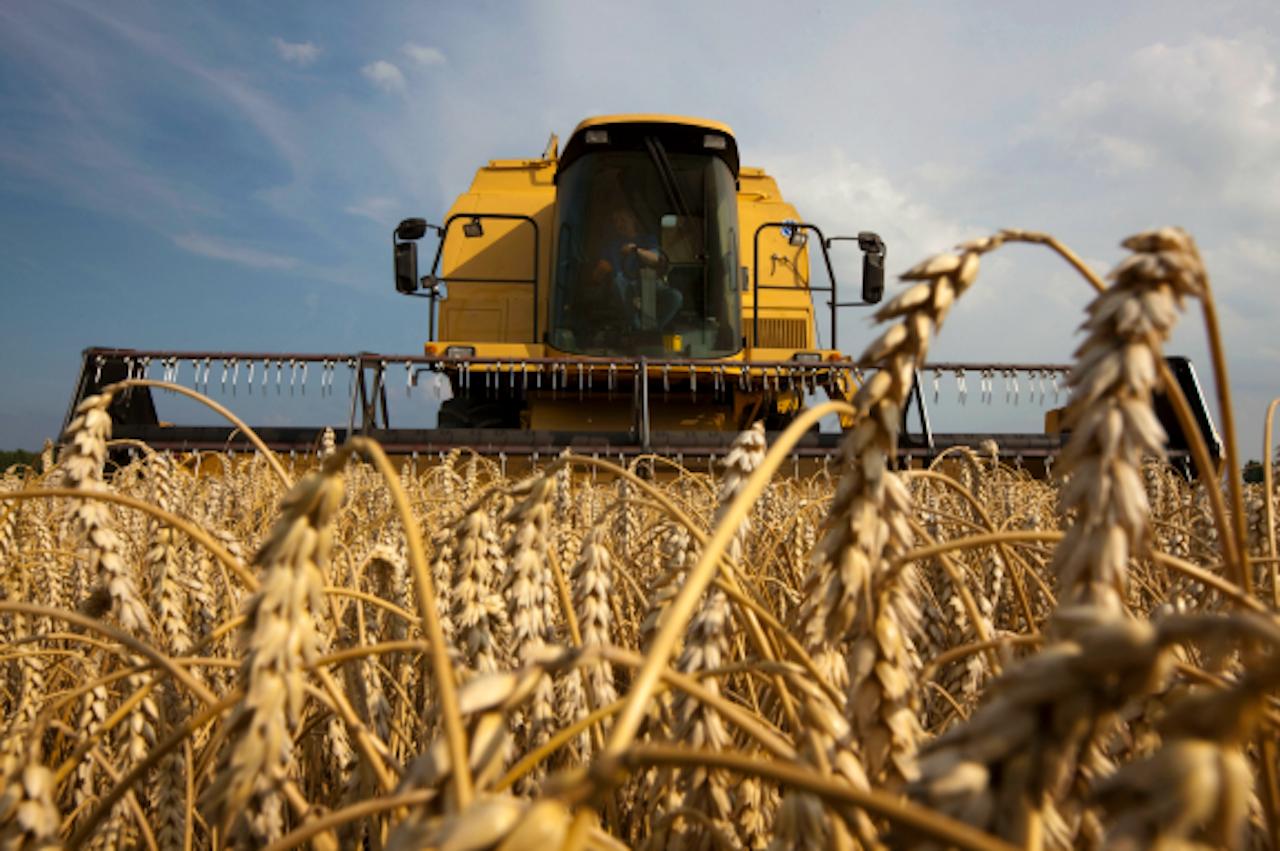 Wuivend graan wuift zo mooi in de wind, omdat het niet krachtig genoeg is om rechtop te staan. Het is doorgekweekt om veel graankorrels en weinig stengel te groeien. Maar die strategie nadert zijn einde. (Foto: ANP)