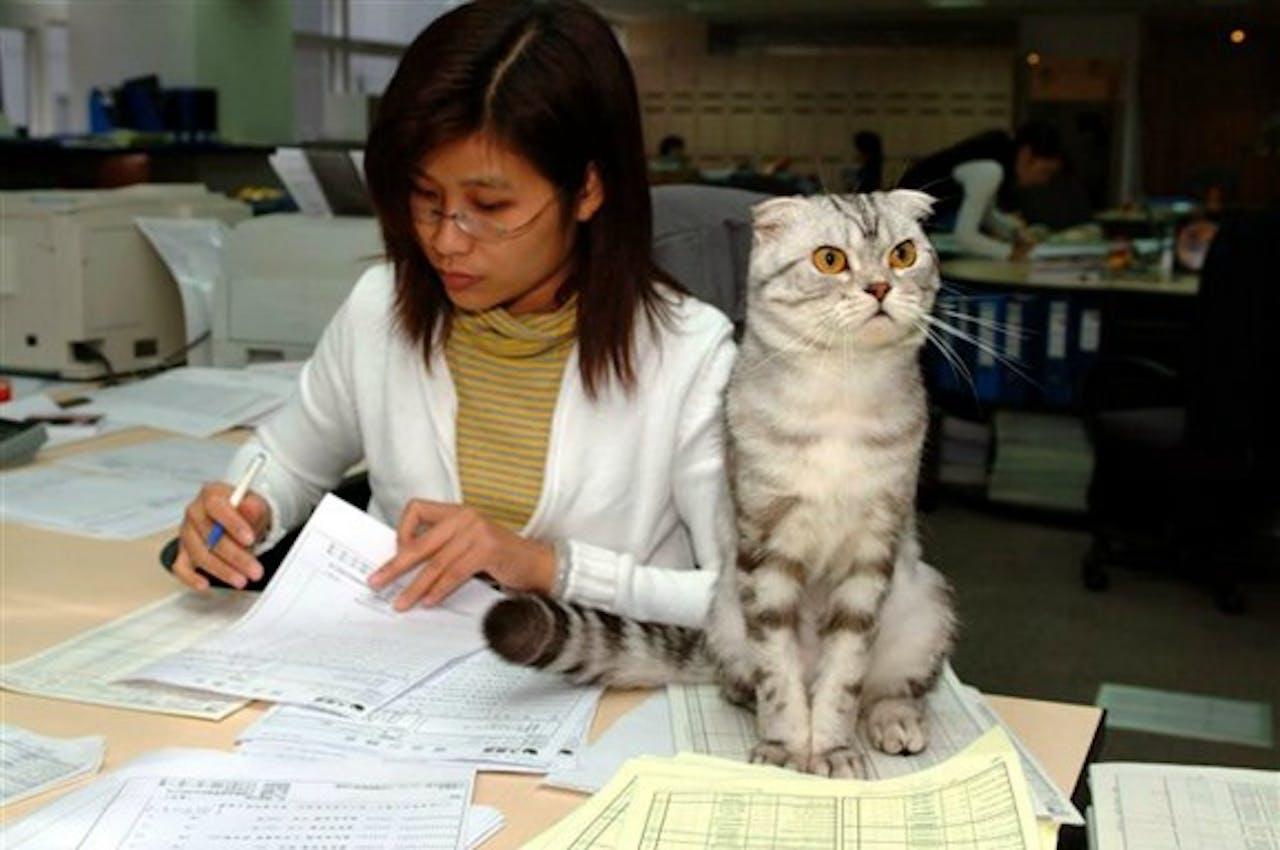 Een kat mee naar je werk nemen ziet er zo uit. Foto ANP