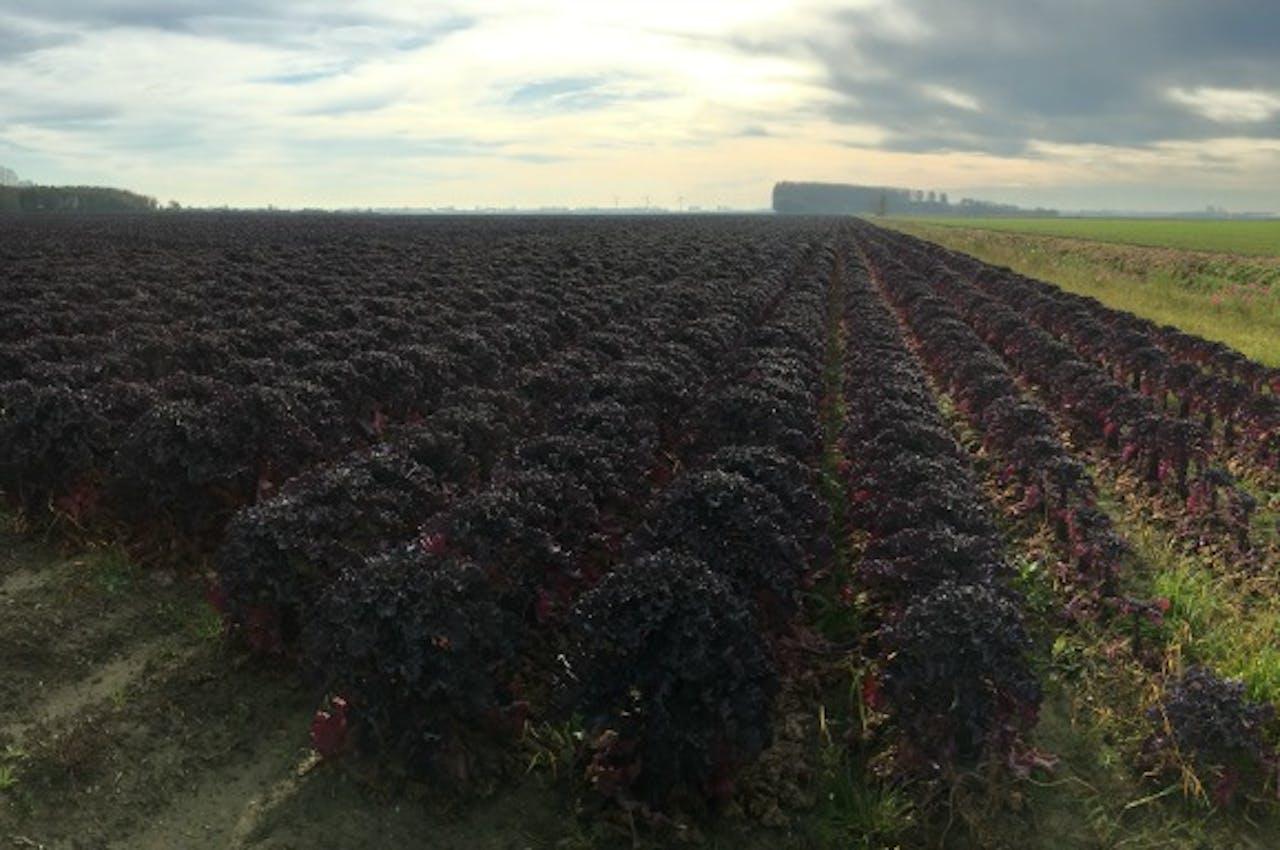 Een veld floursprouts. Foto Martijn de Rijk / BNR