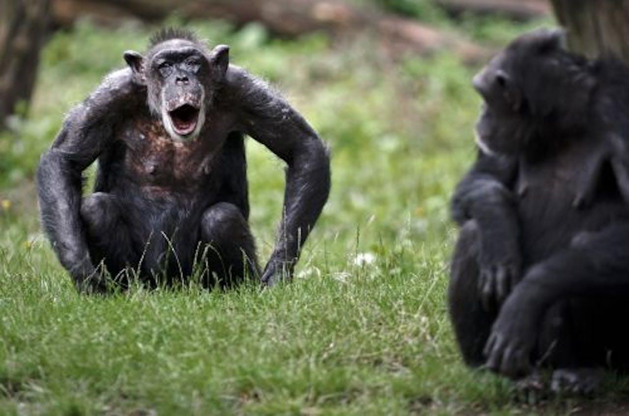 Chimpansees in Burgers' Zoo in Arnhem. ANP