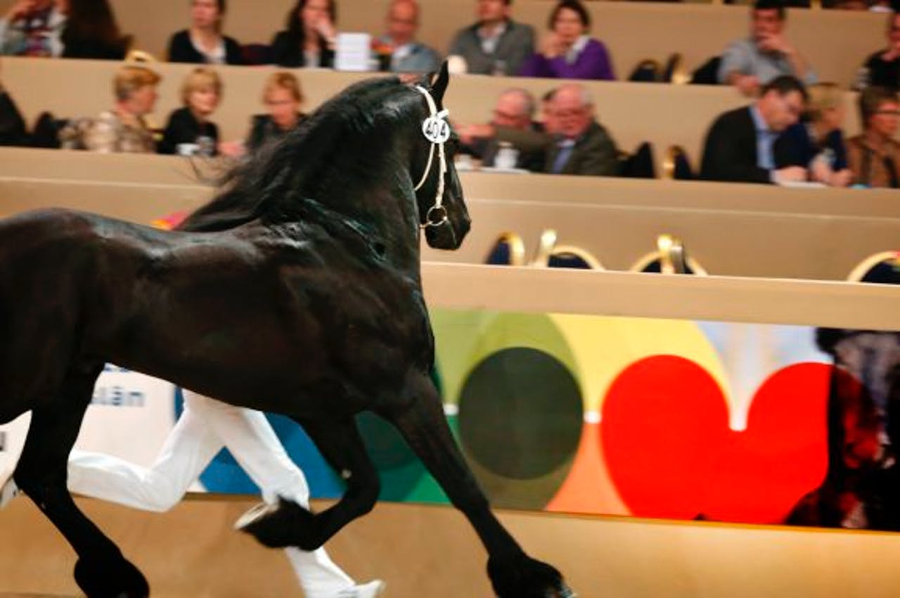 Friese paarden stelen de show in Mexico