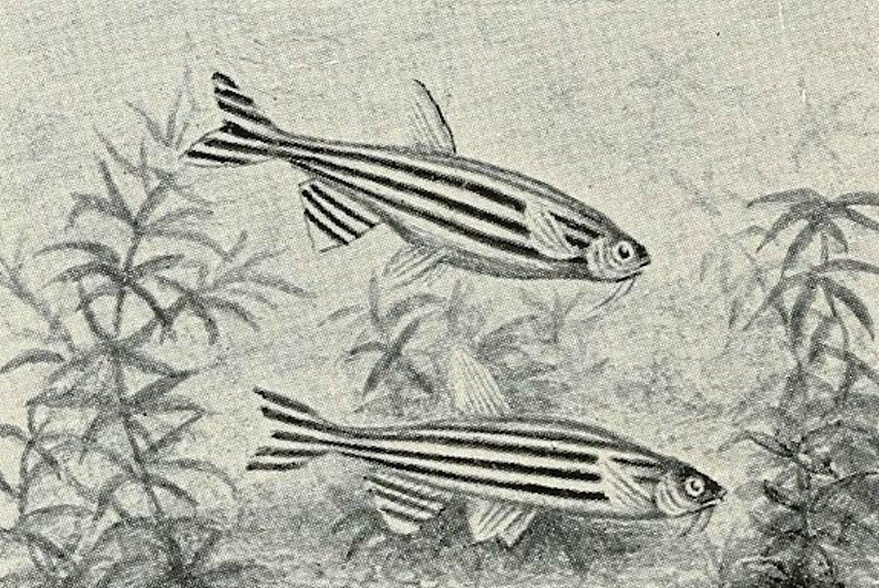 """Getekende zebravisjes uit het boek """"Aquatic life"""" (1917-1918). Foto flickr.com/photos/internetarchivebookimages"""