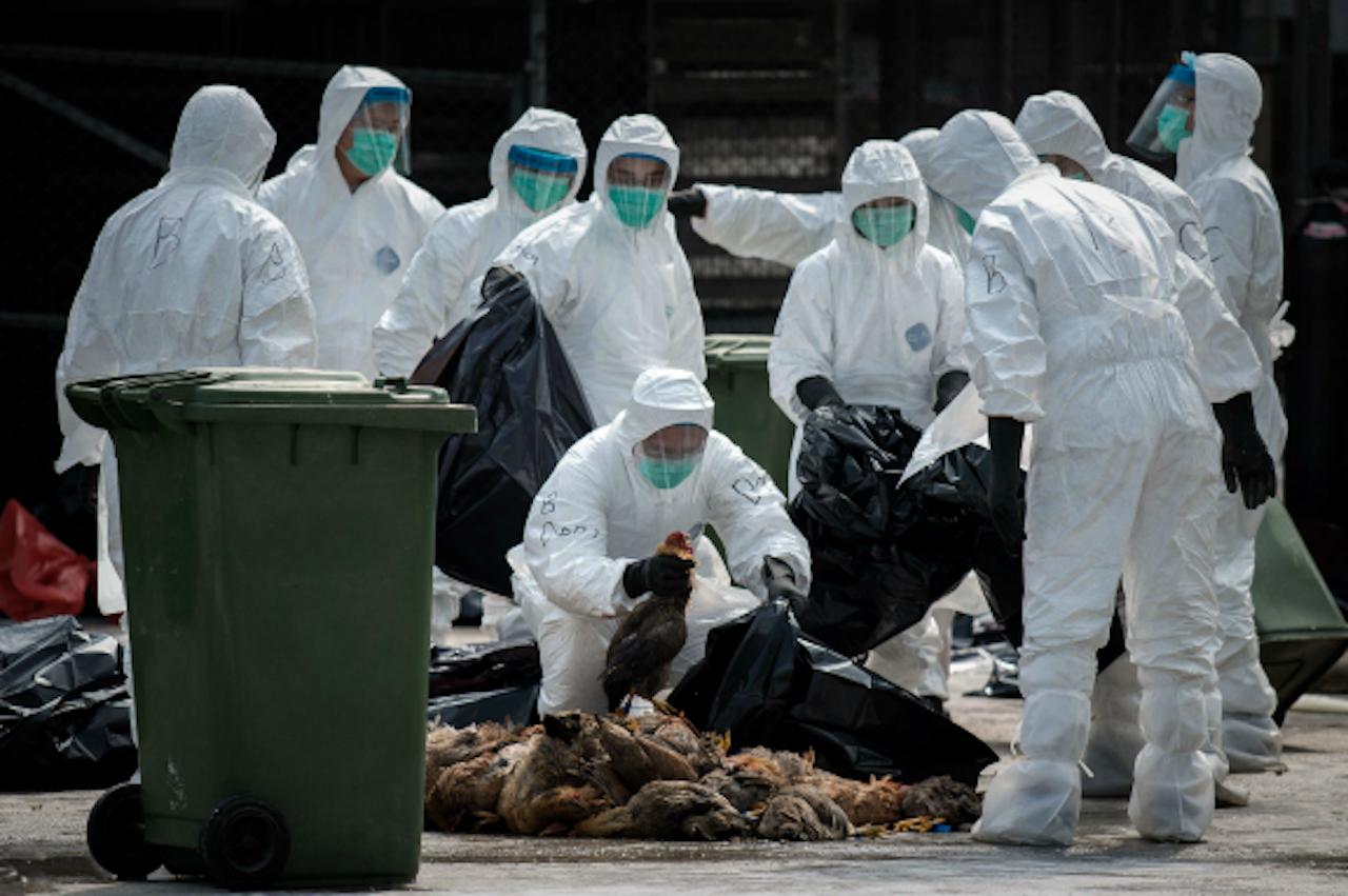 Mannen met witte pakken begin vorig jaar in Hong Kong. 20 duizend kippen werden geruimd na een uitbraak van het dodelijke H7N9 vogelgriepvirus (Foto: ANP)