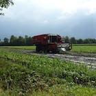 Boeren oogsten razendsnel hun bonen. Foto: Renee van Heteren
