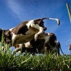 Koeien 578.png