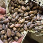 Cacao-bonen-1-578.jpg