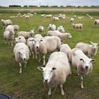 schapen-polders.jpg