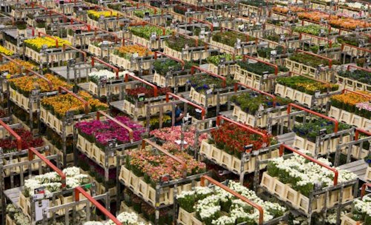 Bloemenveiling FloraHolland in Aalsmeer. ANP