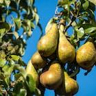 Appels peren .jpg