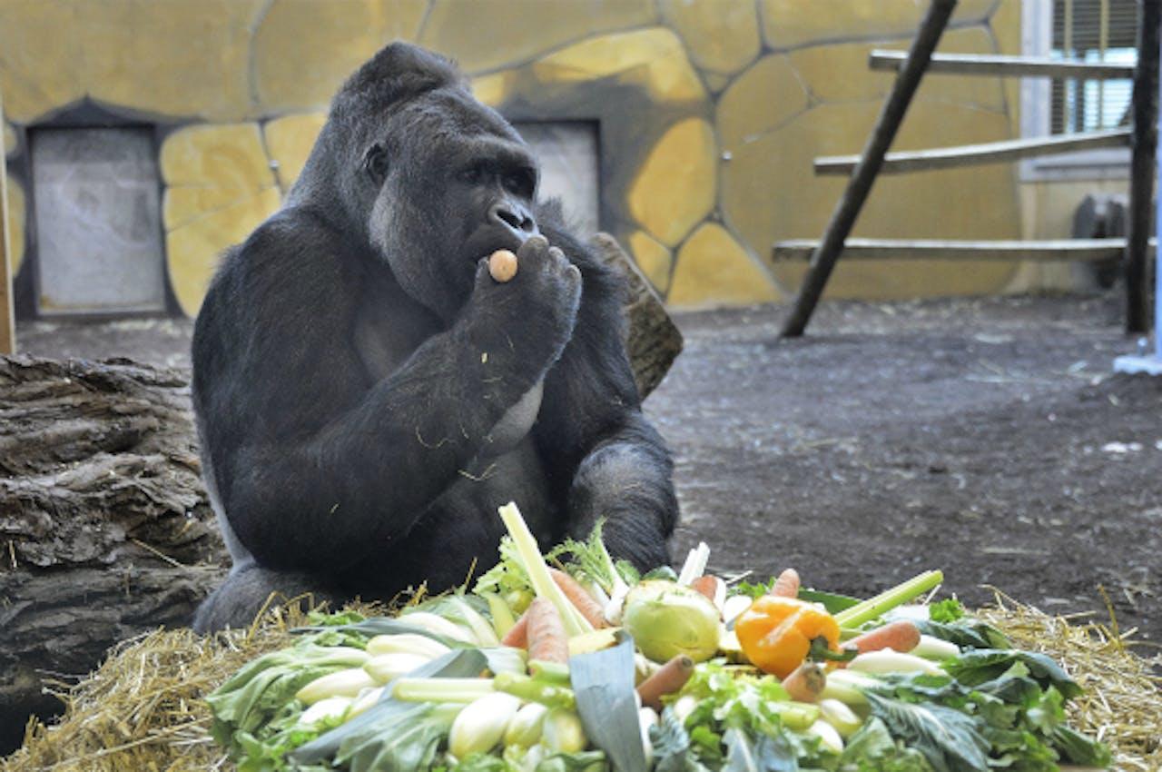 Een bewoner van Gorilla Adventure, Ouwehands Dierenpark