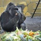 gorilla adventure ouwehands dierenpark