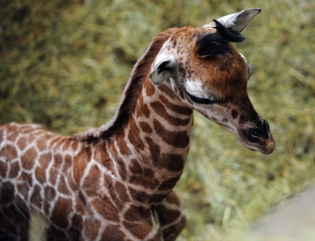 Archieffoto uit januari 2011 van een babygirafje. EPA