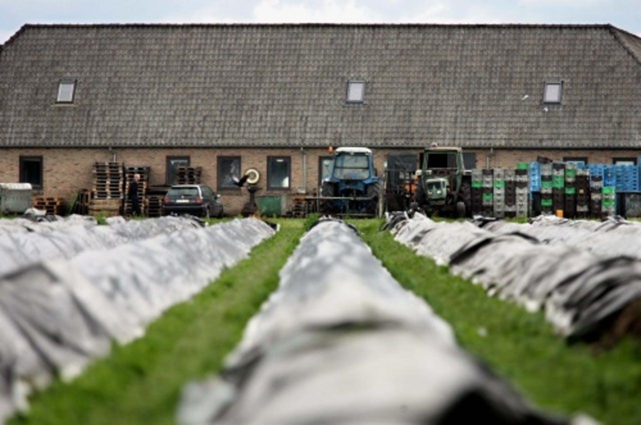 De aspergestekerij in Someren. ANP