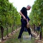 Limburgse wijnoogst 2.jpg