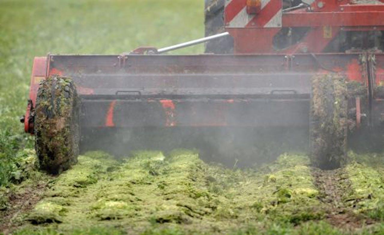 Veel telers hebben sinds de EHEC-uitbraak hun groente moeten vernietigen. ANP