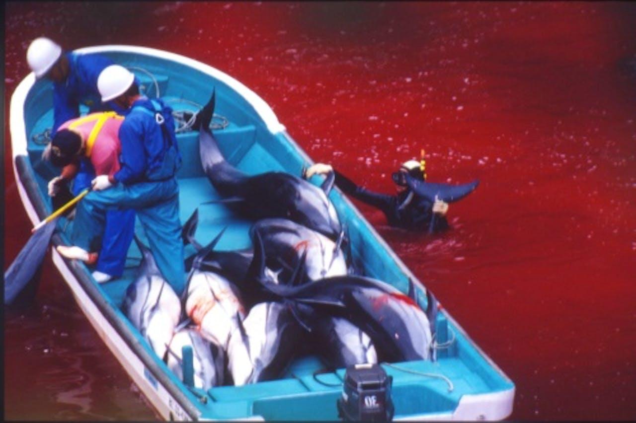 Elk jaar vindt in Tajii een dolfijnenjacht plaats. EPA