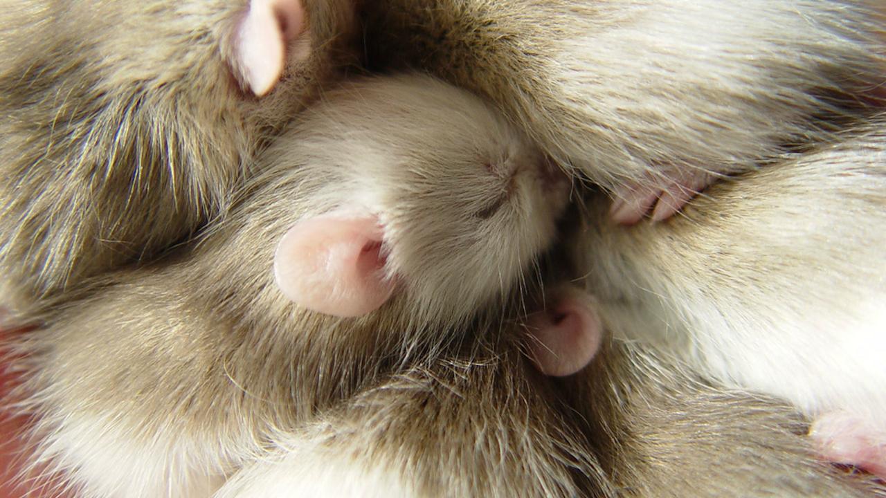 De veeltepelmuis (een rat) ziet er knuffelbaar uit en wordt in Afrika veel als huisdier gehouden, maar kan gevaarlijk zijn omdat ze het lassa-virus kunnen overbrengen (Foto: batwrangler, via Flickr)