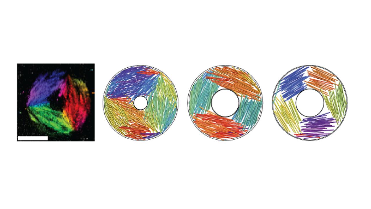 Lange moleculen die zich netjes opstellen in een donutvormig bakje. De kleuren ontstaan door aan de moleculen een fluoriserend laagje toe te voegen, waarvan de kleur afhankelijk is van de richting van het molecuul.