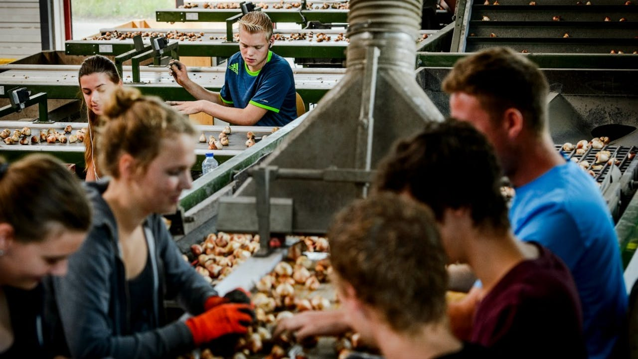 Populaire vakantiebaan in het Westland en omstreken: bollen pellen. Foto: anp
