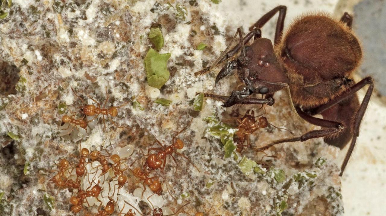 Schimmel-kwekende mieren, met onderin kleine werkstermieren, die in het niet vallen bij het formaat van hun koningin. De schimmels krijgen stukjes van bladeren gevoerd. (Foto: Karolyn Darrow)