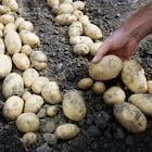 Aardappelen Idaho.jpg