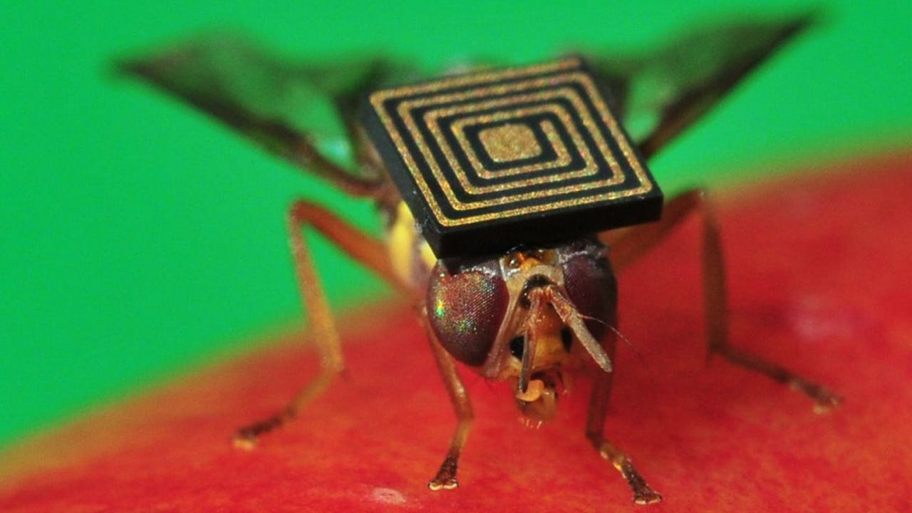Een Australische bionische fruitvlieg met een sensor op. Foto ANP