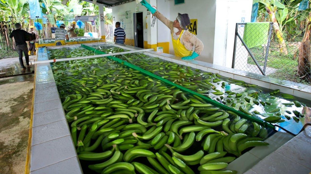 Een fairtrade bananenplantage. Foto: ANP.