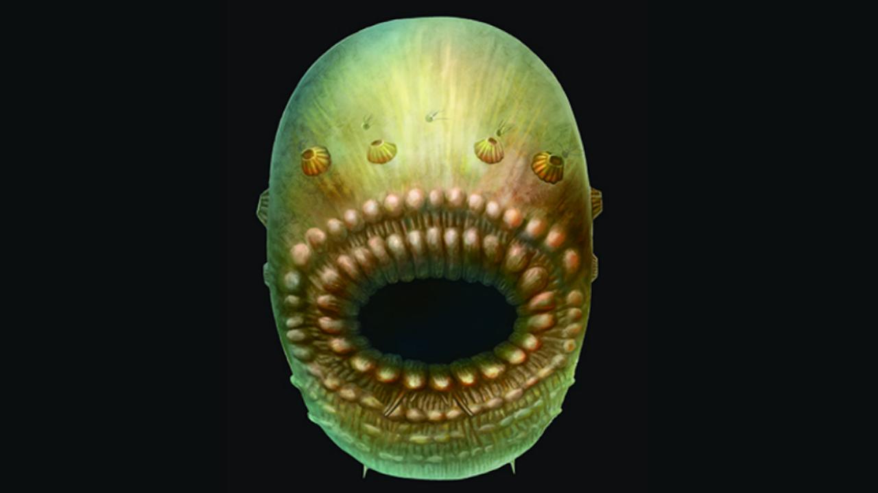 Reconstructie van de Saccorhytus coronarius, op basis van gevonden fossielen. Deze verre voorouder was waarschijnlijk niet groter dan een millimeter. (Afbeelding: S Conway Morris / Jian Han)