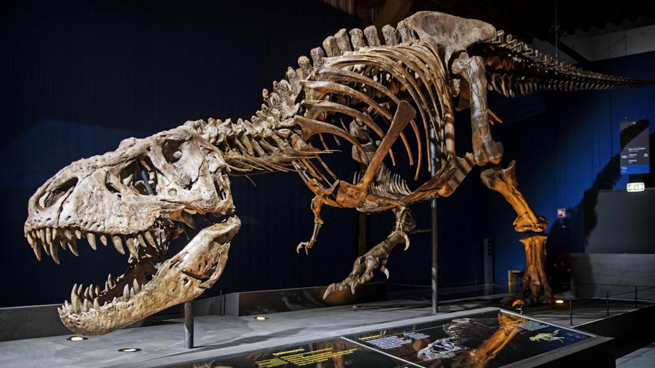 Het skelet van T. rex Trix in museum Naturalis (Foto: ANP)