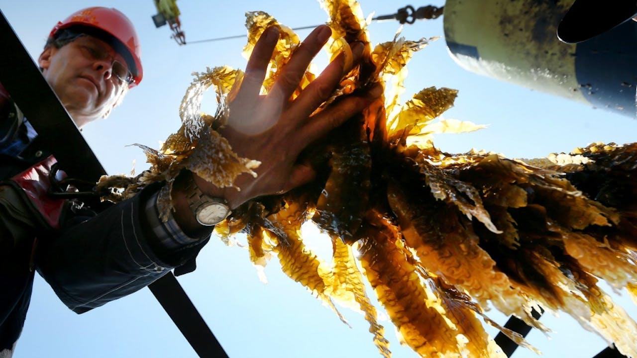 Foto: ANP - De eerste oogst zeewier uit de Nederlandse Noordzee