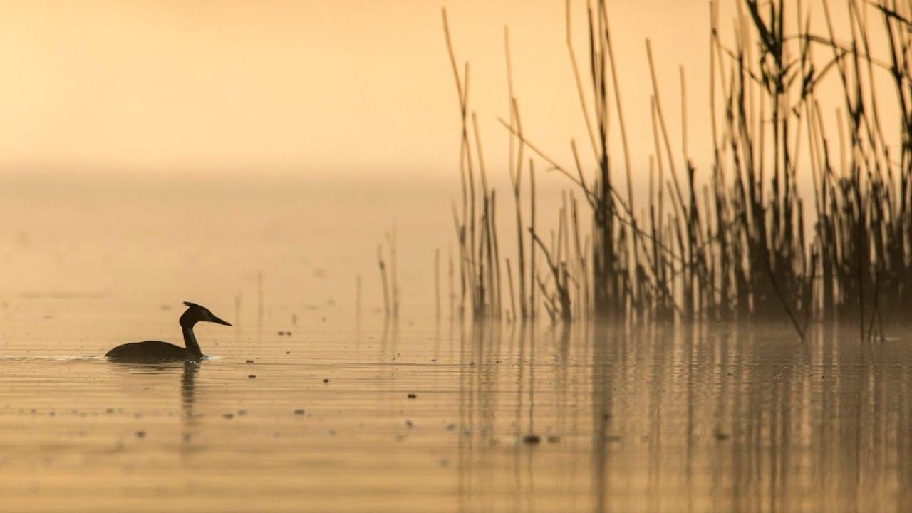 Een fuut op het water van De Biesbosch. Foto: HH/Frans Lemmens