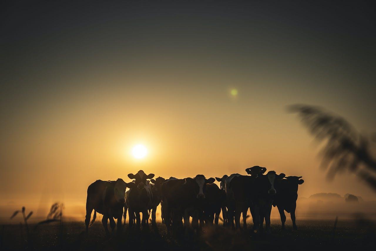 Koeien in de ochtendmist.